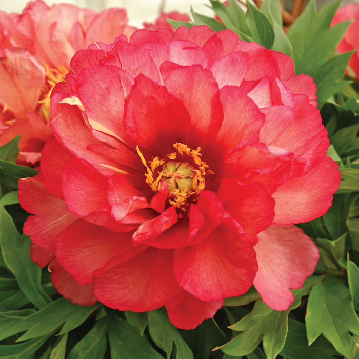 Julia Rose Itoh Paeonia