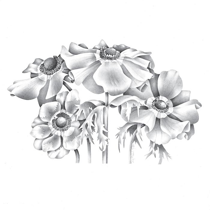Anemone Coronaria Monarch De Caen Mix