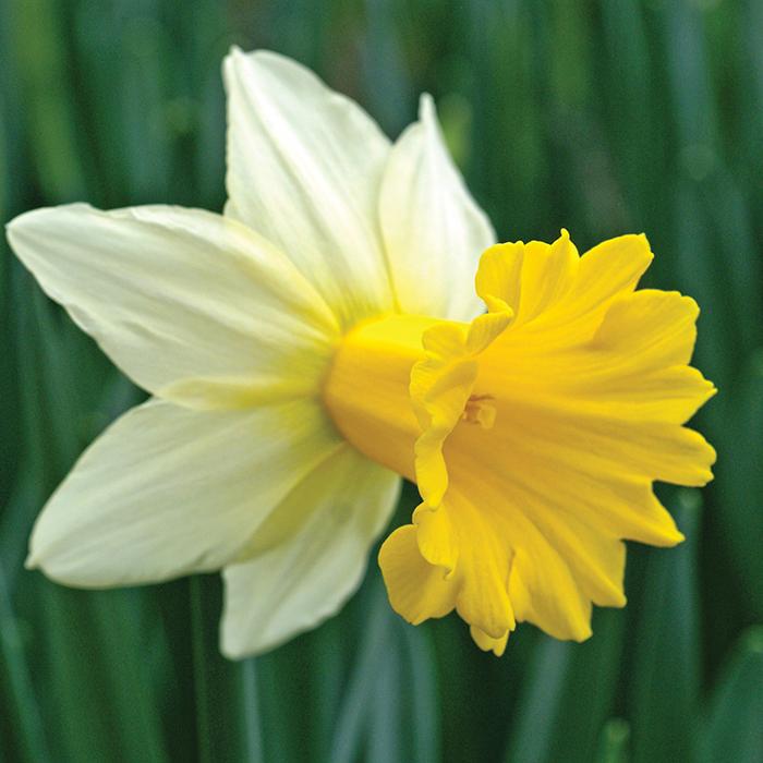 Tropical Sunset Daffodil