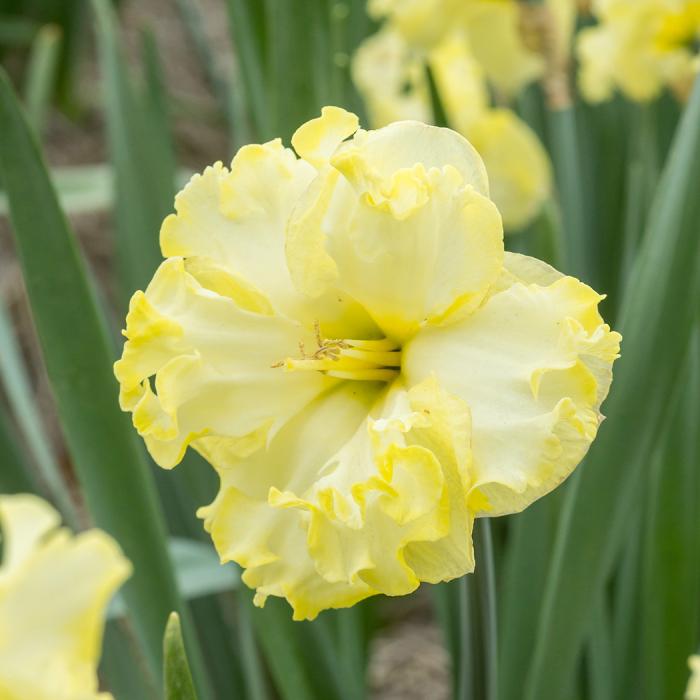 Sunnyside Up Daffodil