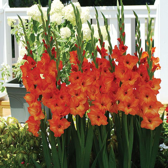 Gladiolus Sun Kissed
