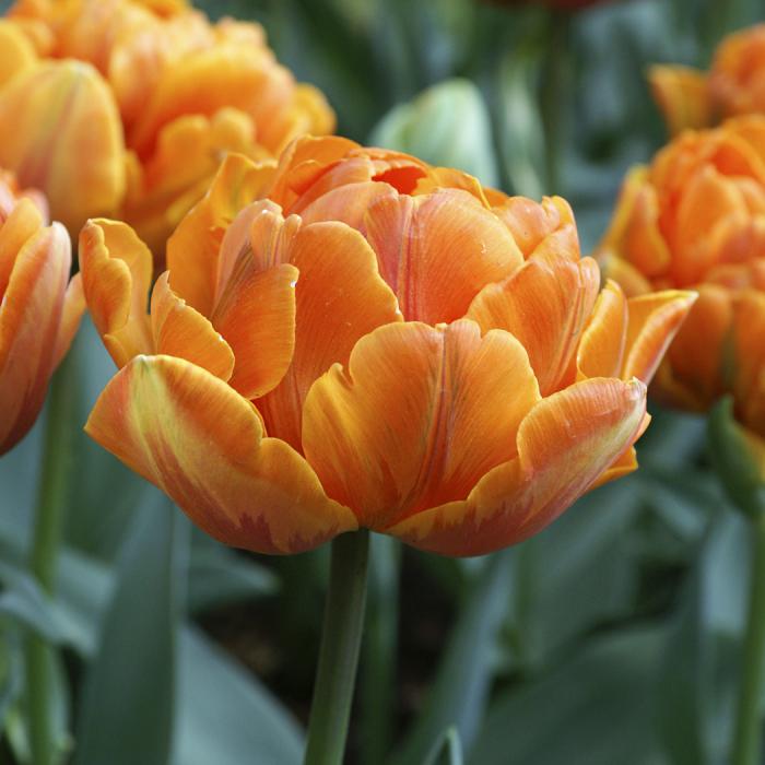 Orange Princess Double Late Tulip