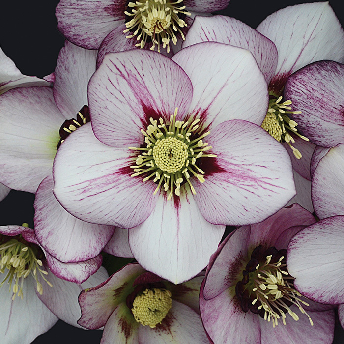 French Kiss Hybrid Helleborus