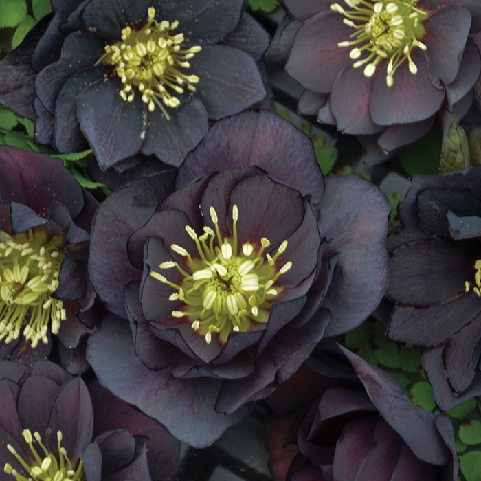 Dark And Handsome Hybrid Helleborus