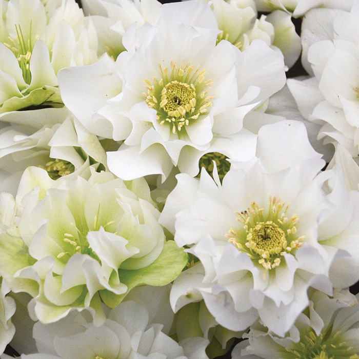 Wedding Bells Hybrid Helleborus