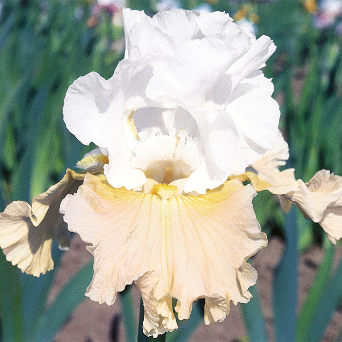 Champagne Elegance German Bearded Iris