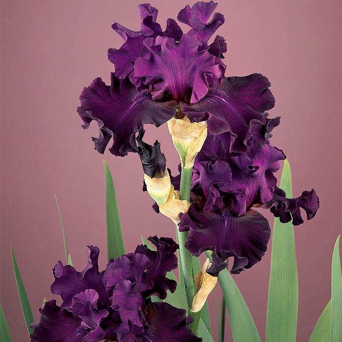 Diabolique German Bearded Iris