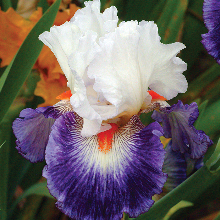 Gypsy Lord German Bearded Iris