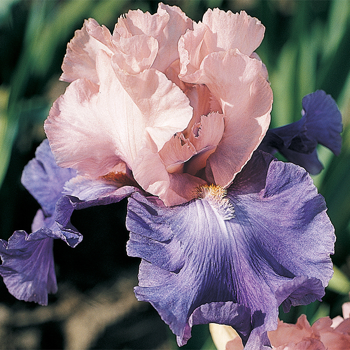 Poem  Of Ecstasy German Bearded Iris