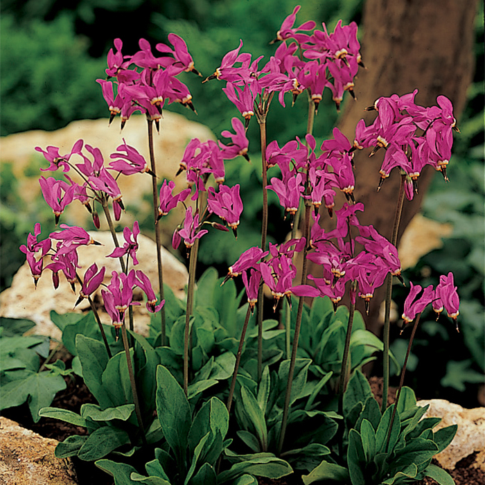"""Dodecatheon Meadia """"Shooting Star"""""""