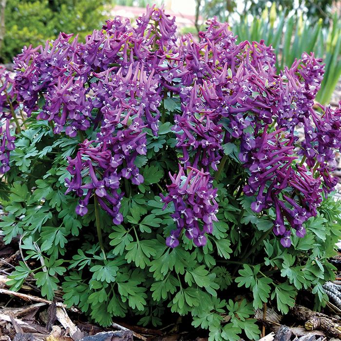 Purple Bird Corydalis