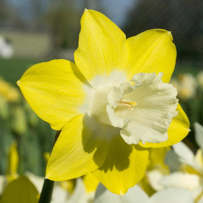 Teal Trumpet Daffodil