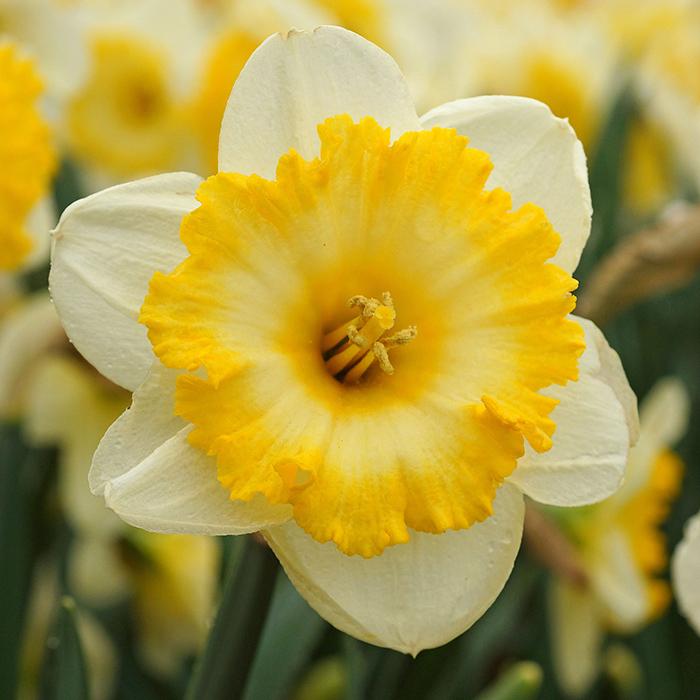 Bright Sun Daffodil