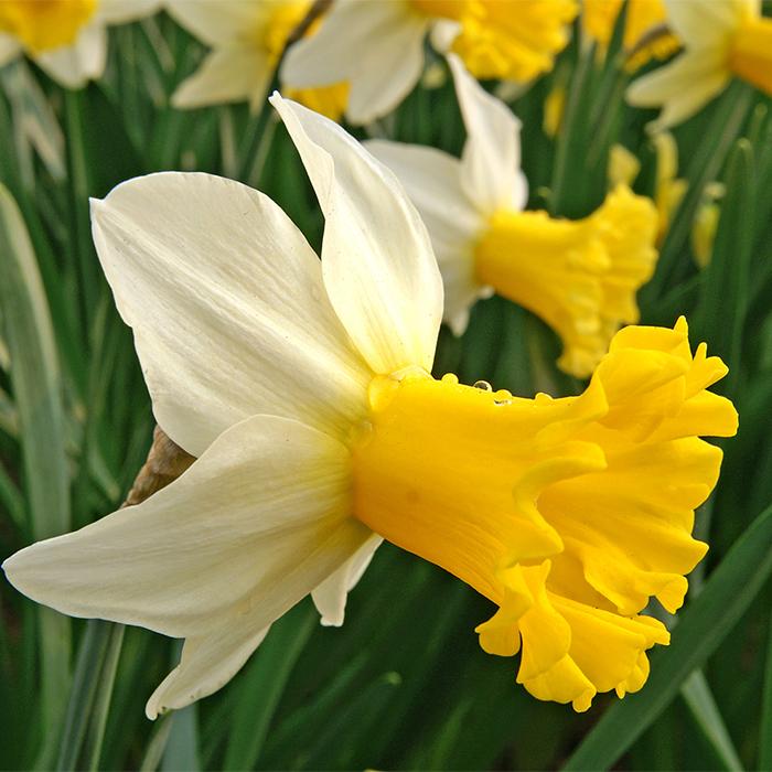 Wisley Daffodil
