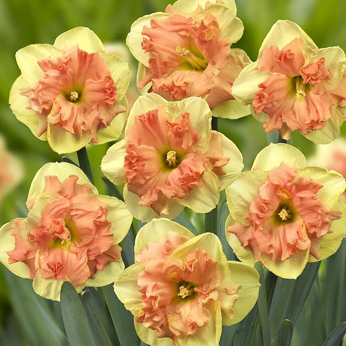 Vanilla Peach Daffodil