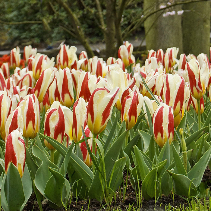 The First Kaufmanniana Tulip