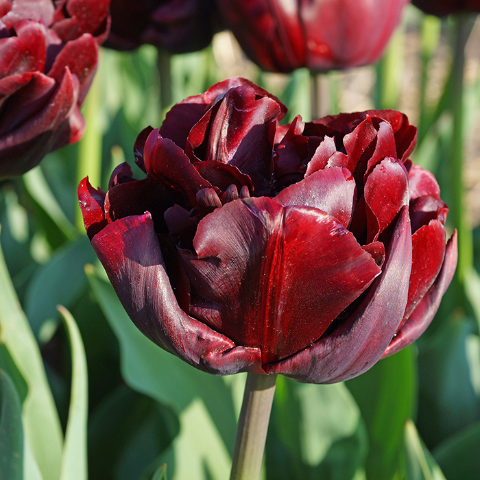 Palmyra Double Early Tulip