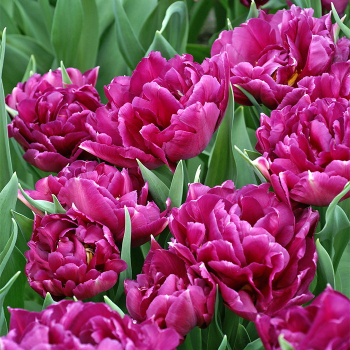 Showcase Double Early Tulip