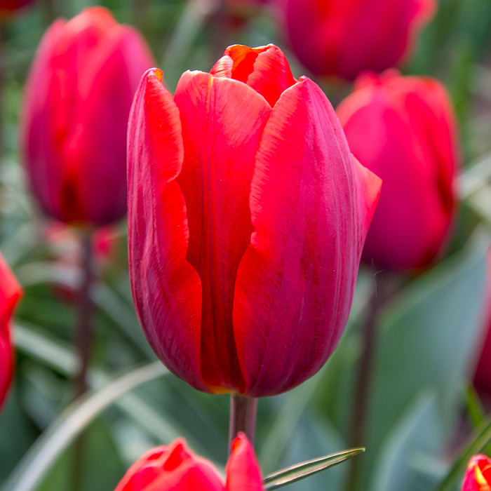 Couleur Cardinal Triumph Tulip