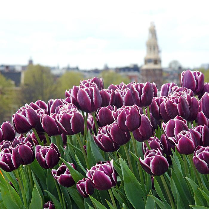 Jackpot Triumph Tulip