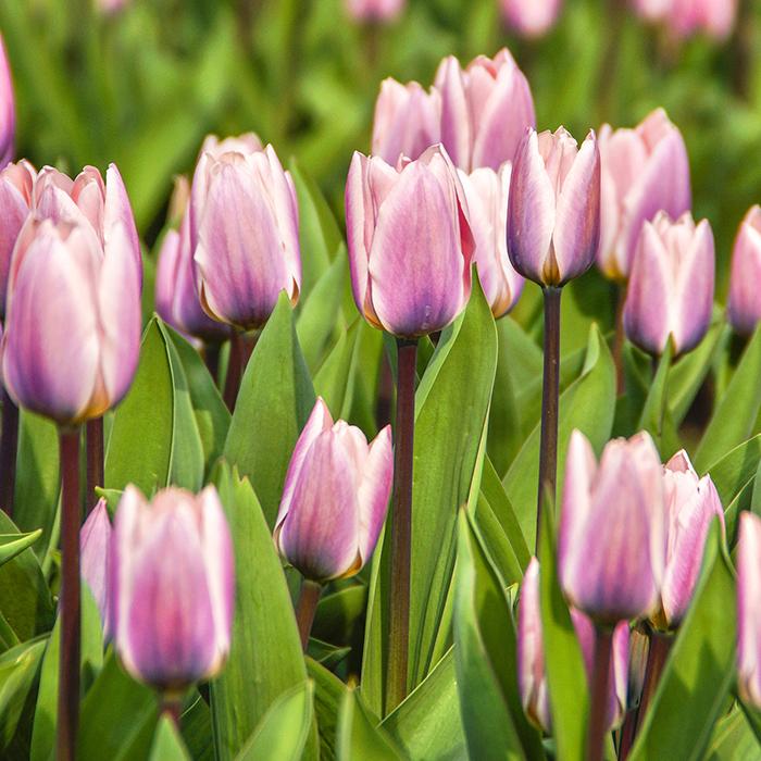 Light And Dreamy Darwin Hybrid Tulip