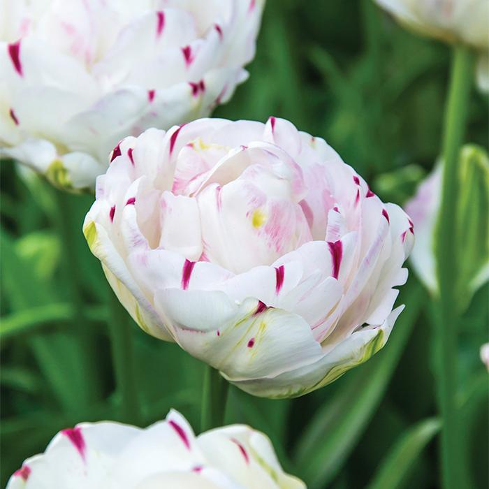 Danceline Double Late Tulip