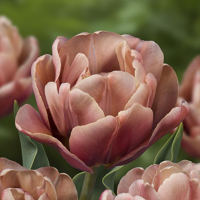 La Belle Epoque Double Late Tulip
