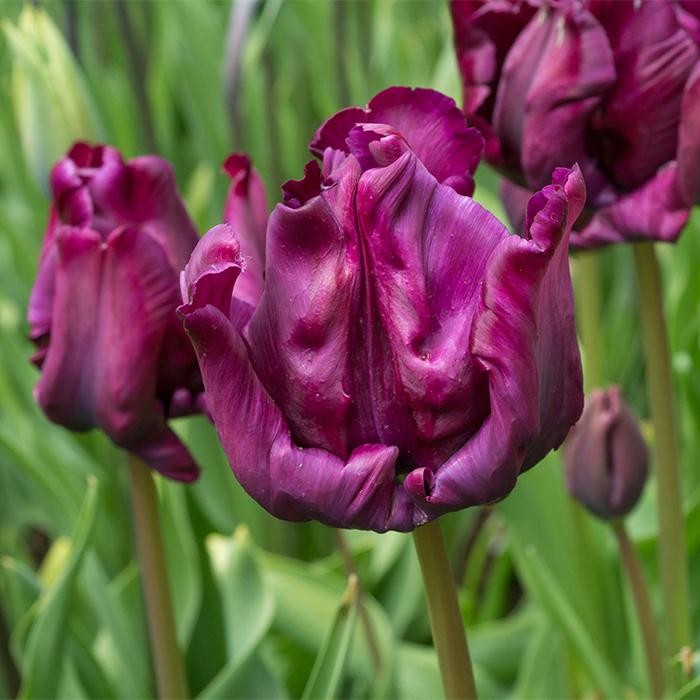 Victoria's Secret Parrot Tulip