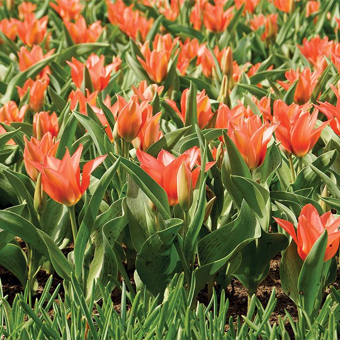 Toronto Greigii Multiflowered Tulip