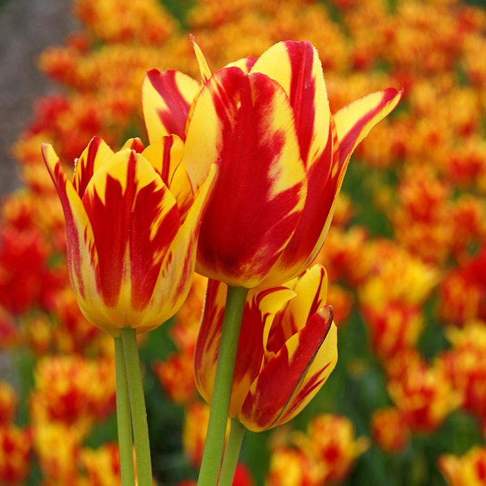 Wonder Club Multiflowered Tulip