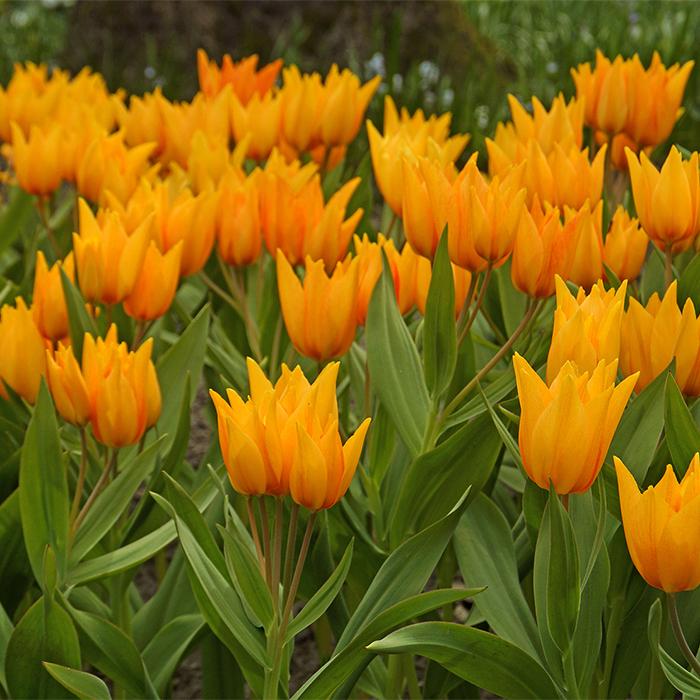 Shogun Praestans Tulip