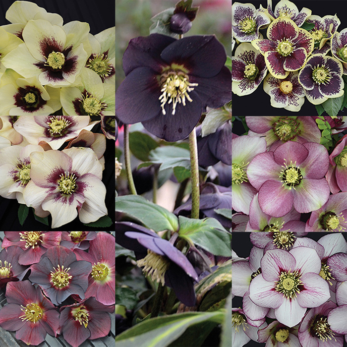 Honeymoon Helleborus Collection