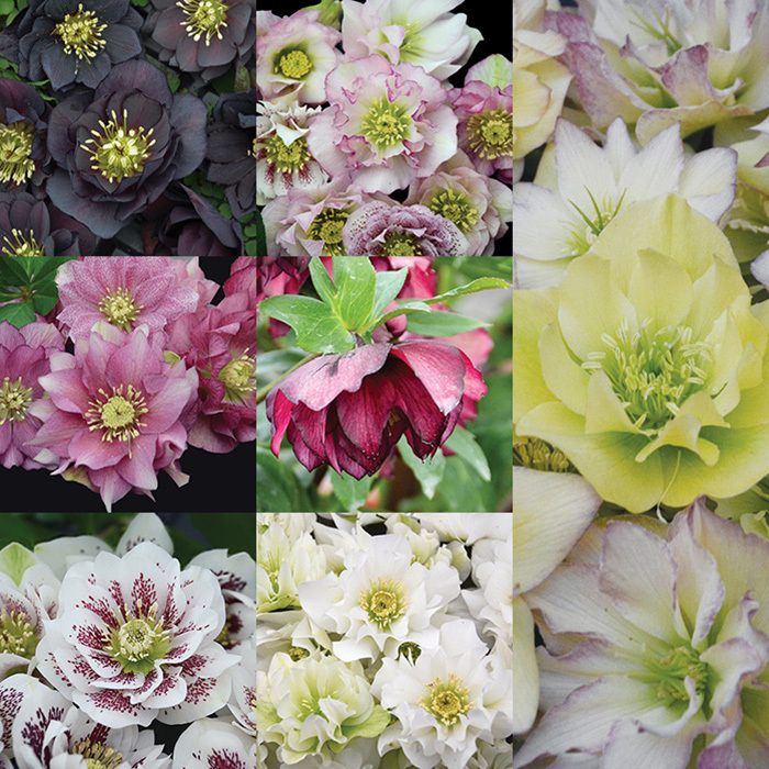 Wedding Party Helleborus Collection