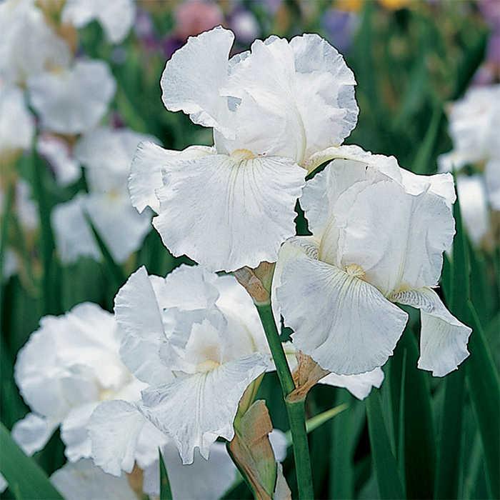 Immortality German Bearded Iris