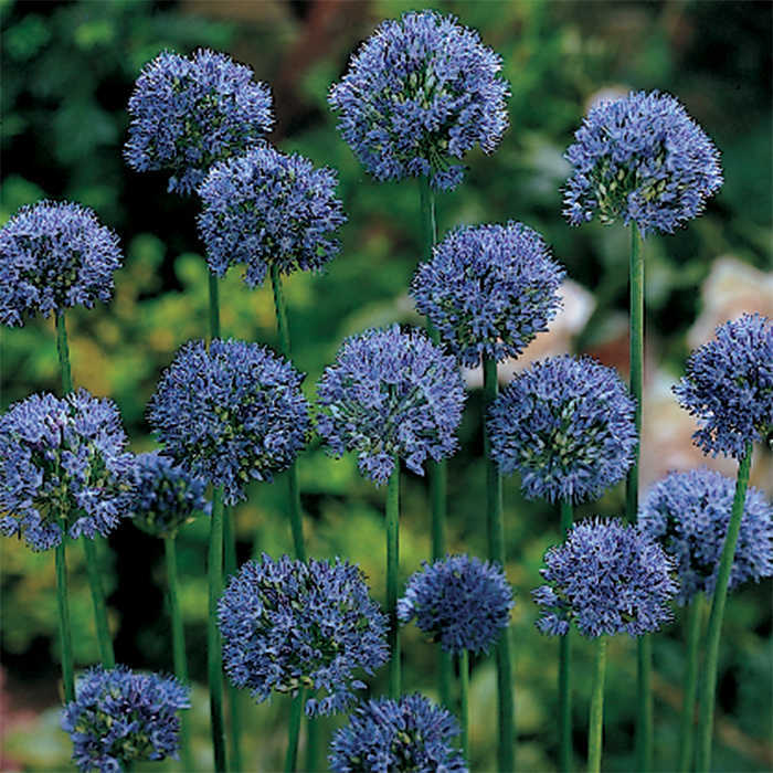 Caeruleum Allium