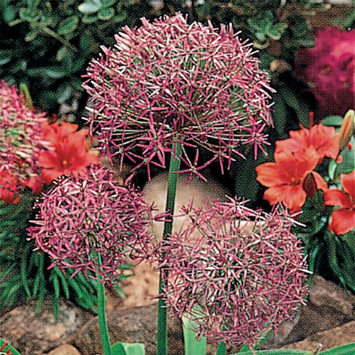 Star Of Persia Allium Christophii