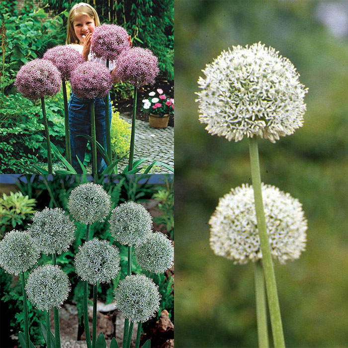 Giant Allium Collection