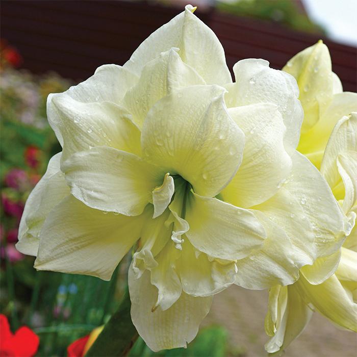 White Nymph Amaryllis