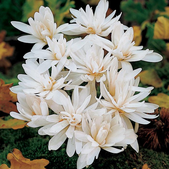 Colchicum Autumnale Alboplenum