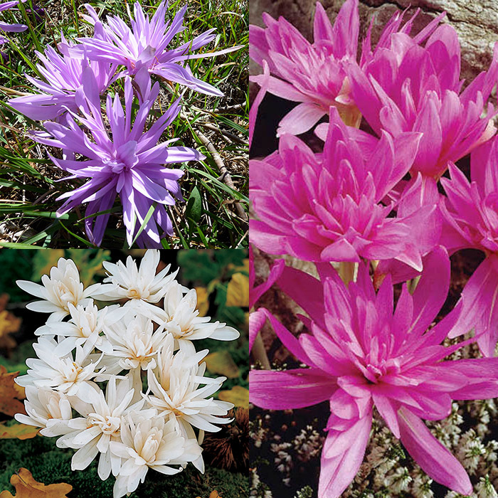 Double Colchicum Offer