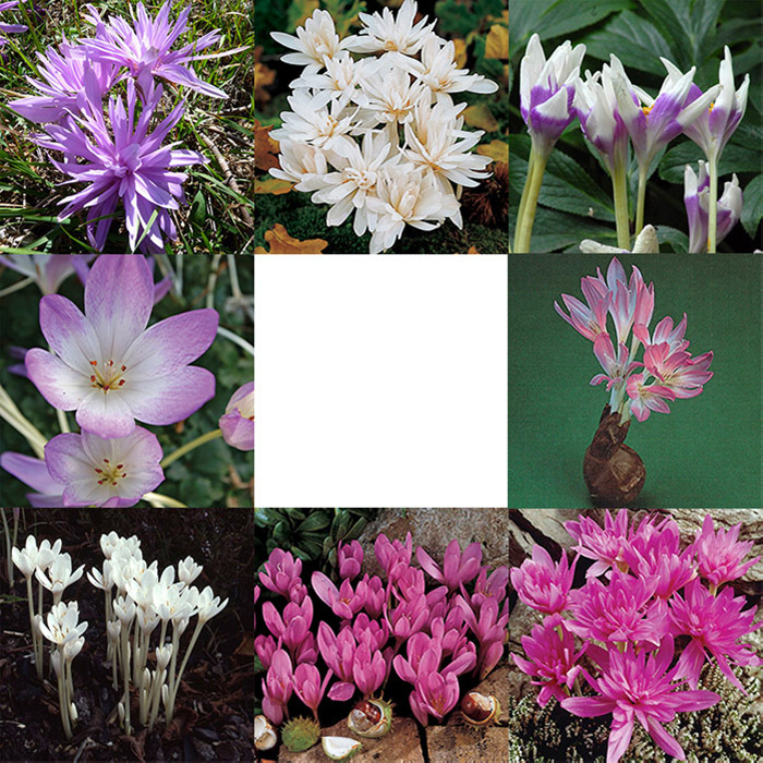 The Works Colchicum Offer (45 Bulbs)
