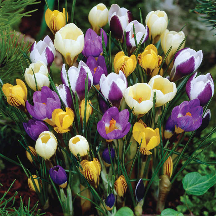 Crocus Chrysanthus Special Mix