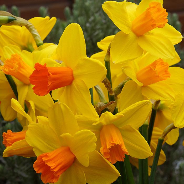 Classic Garden Trumpet Daffodil