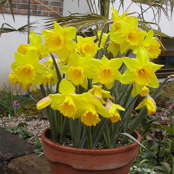 Marieke Daffodil