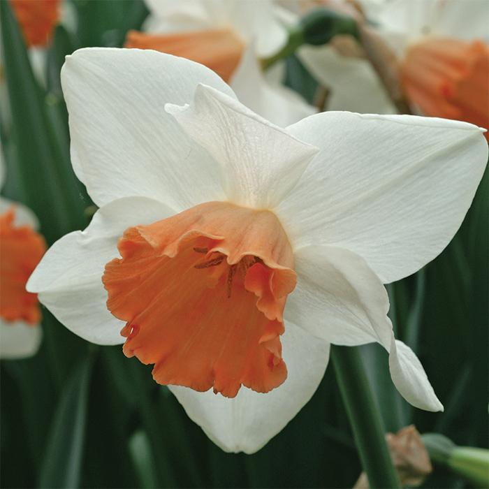 Accent Daffodil