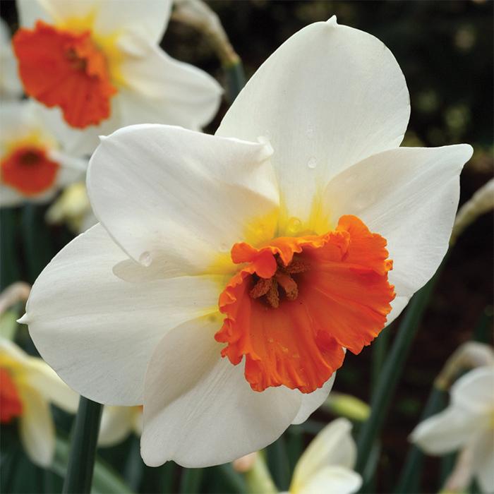 Barret Browning Daffodil