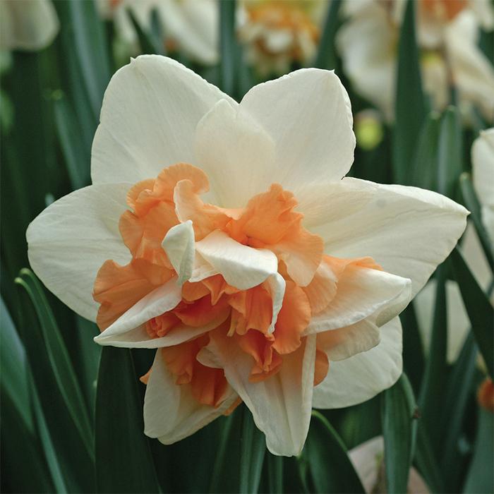 Delnashaugh Daffodil
