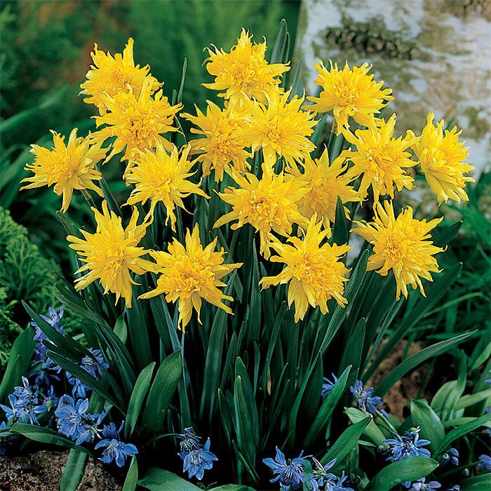 Rip Van Winkel Daffodil