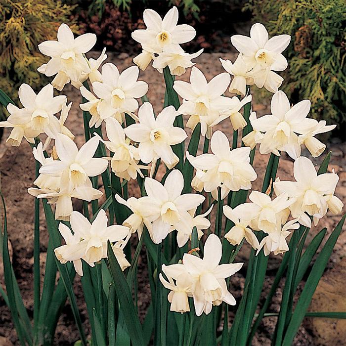 Ice Wings Daffodil