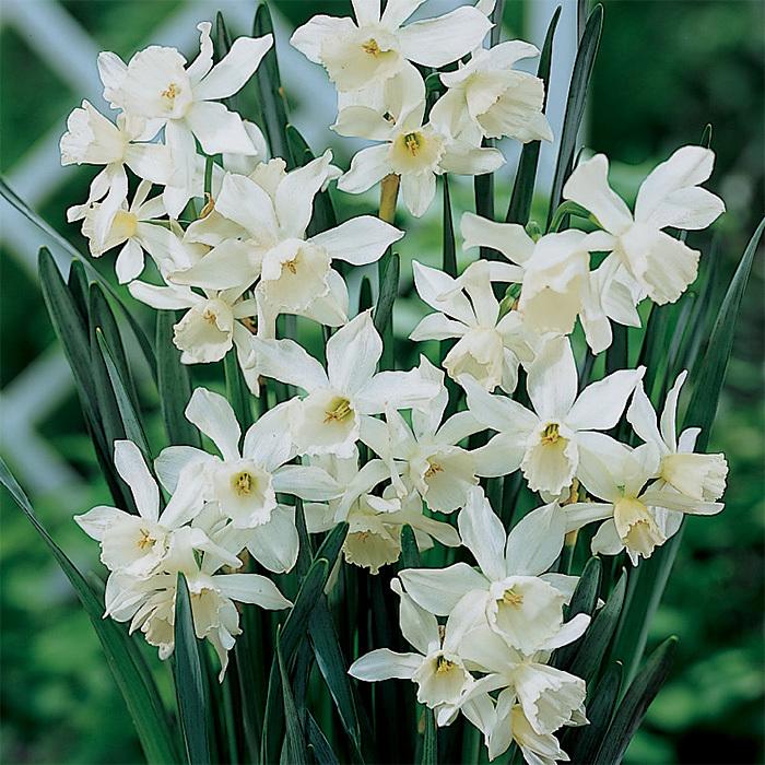 Thalia Daffodil